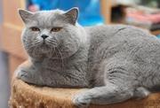 Британские котята окрас красный и черепаховый